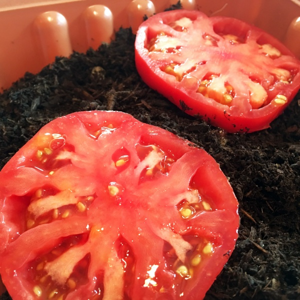 Re-Sprouting Heirloom Tomatoes